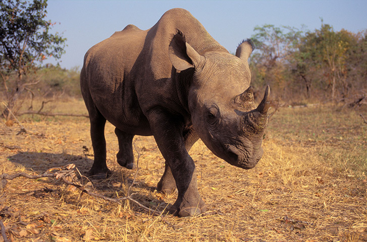 the methods to protect the black rhino populations from poaching 10 realistic ways to save the rhino people came up with various ways to help eliminate rhino poaching there will be more action to protect.