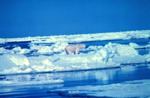Polar bear  Ursus maritimus on ice flow