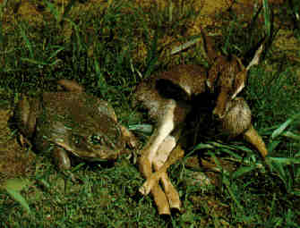 Goliath Frog and a Fawn Deer