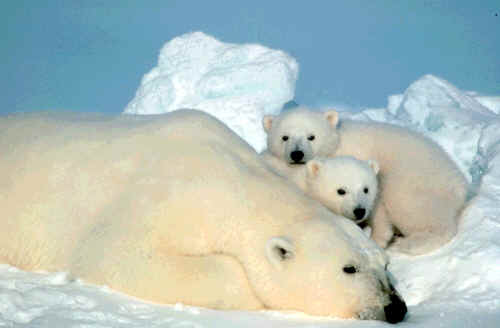 Polar bear mother cubs