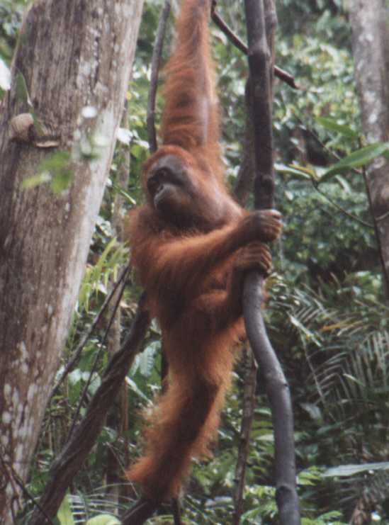 Orangutan Swinging Through The Jungle