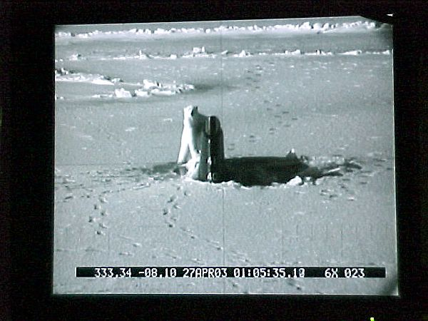 polar bear submarine periscope