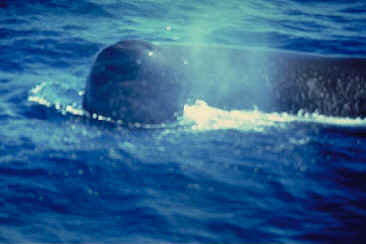 Close-Up of a Sperm Whale